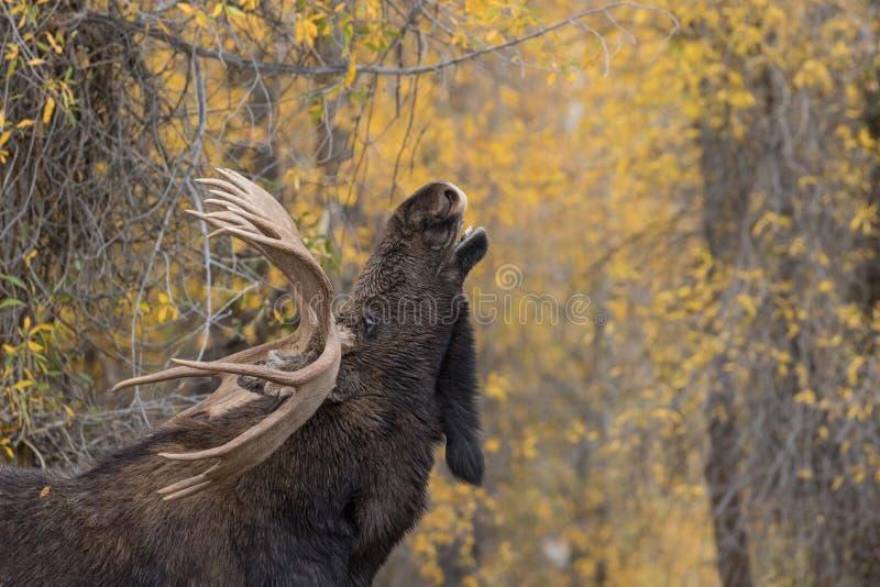 Bull Shiras Moose Rutting. A bull shiras moose during the fall rut royalty free stock photo
