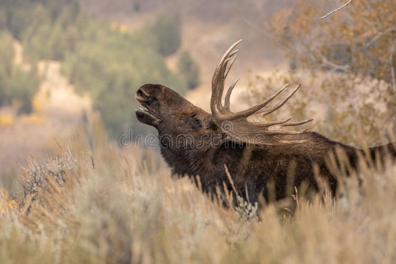 Bull Shiras Moose Rutting in Wyoming stock photos