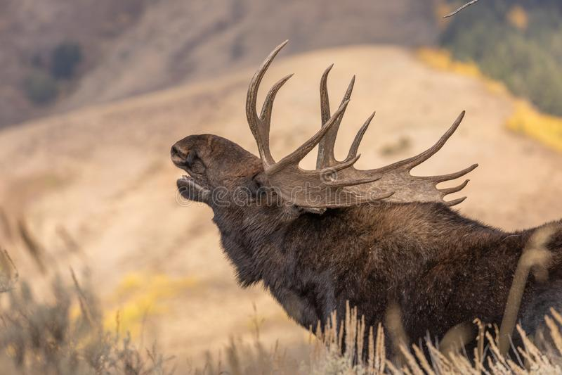Bull Shiras Moose Rutting in Wyoming royalty free stock photo
