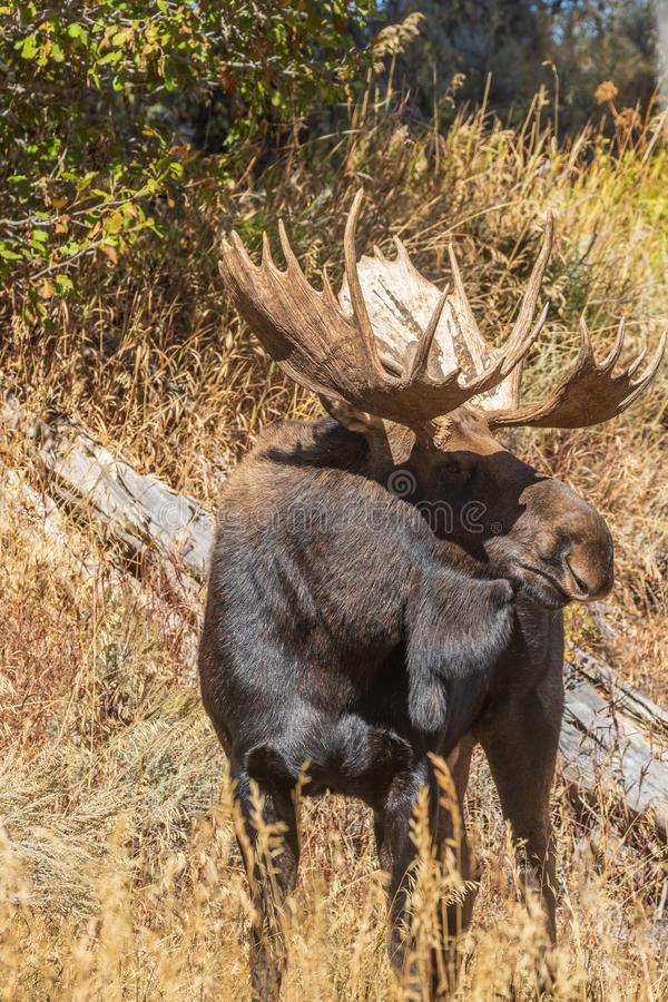 Big Bull Shiras Moose in Autumn. A bull shiras moose in Wyoming in the fall rut stock photography