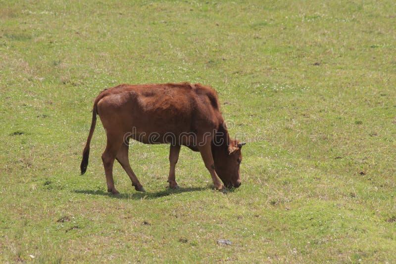 Bull stock photos