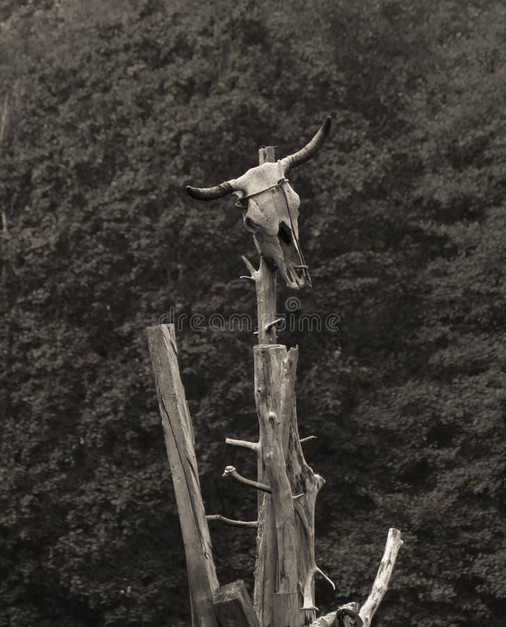 Bull skull atop dead tree stock photography