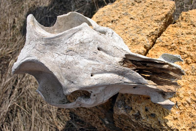 Bull skull close up laying on Crimean coquina rock blocks wall close up texture background stock photography