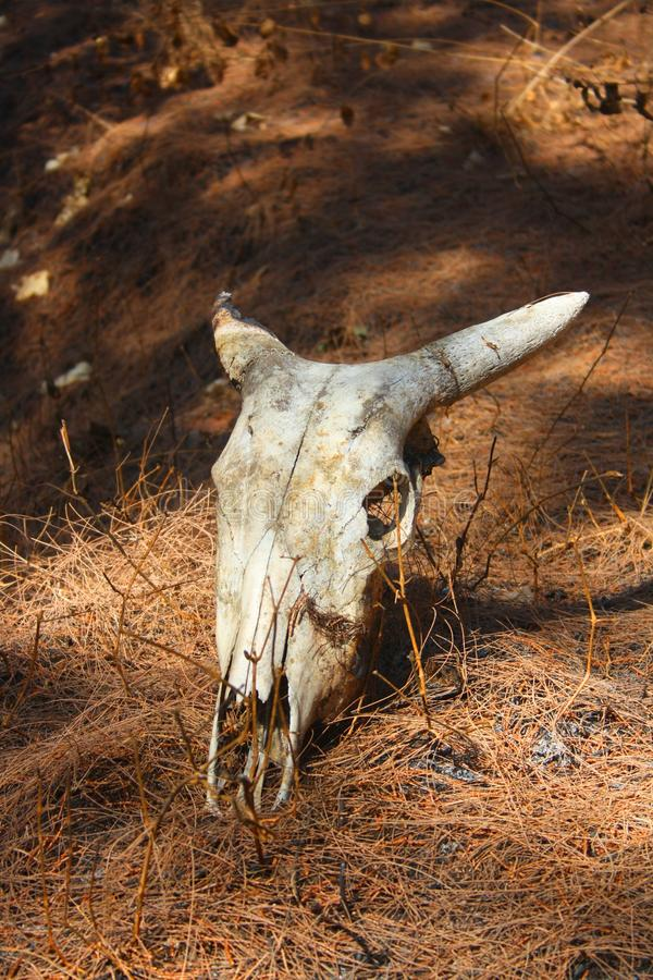Bull skull stock photography