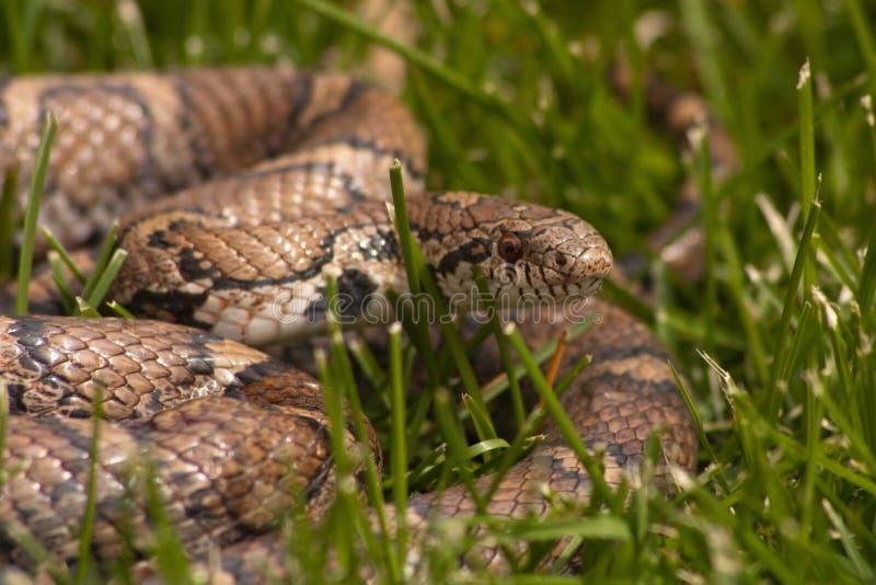 Bull Snake royalty free stock photography