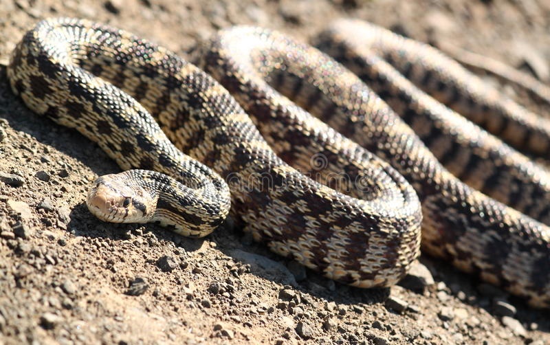 Bull Snake. A tilted portrait of a bull snake on a gravel road with many coils royalty free stock photo