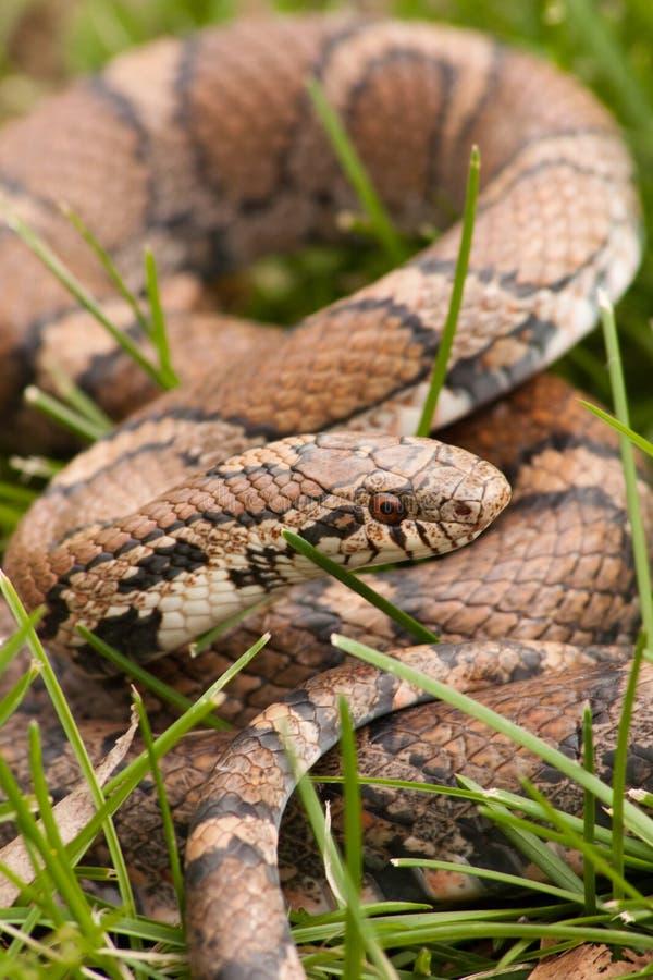 Bull Snake in the grass stock image