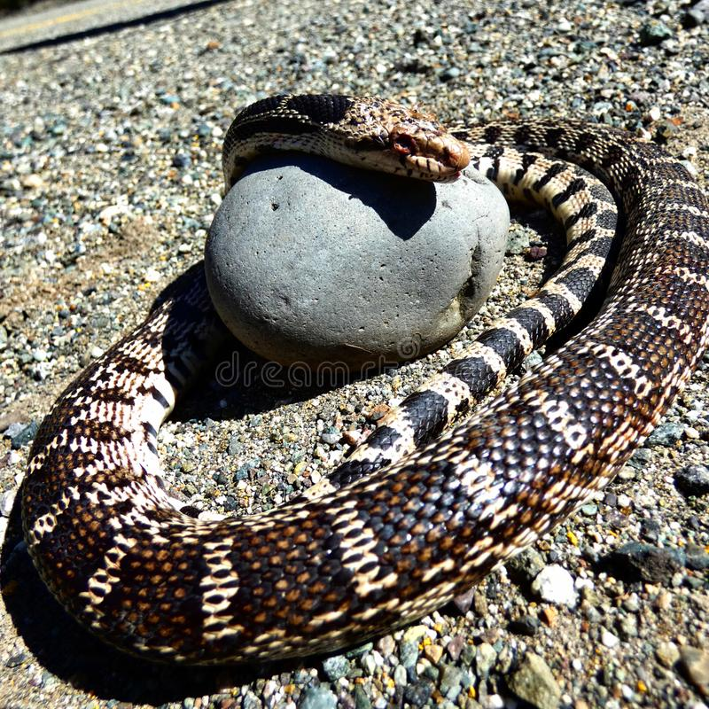 Bull snake with head on rock stock photo