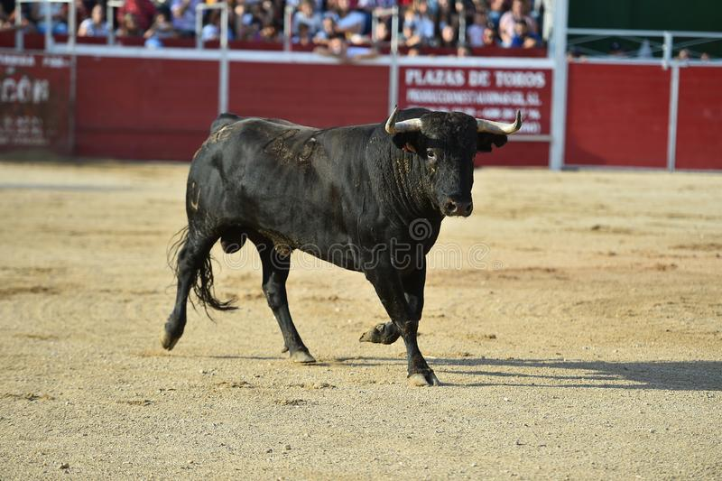 Strong Bull in the spanish bullring with big horns stock photography