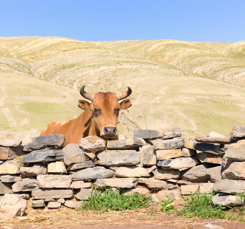 Bull and stone fence. royalty free stock photo