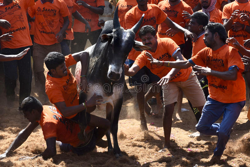 BULL TAMING CONTEST stock images