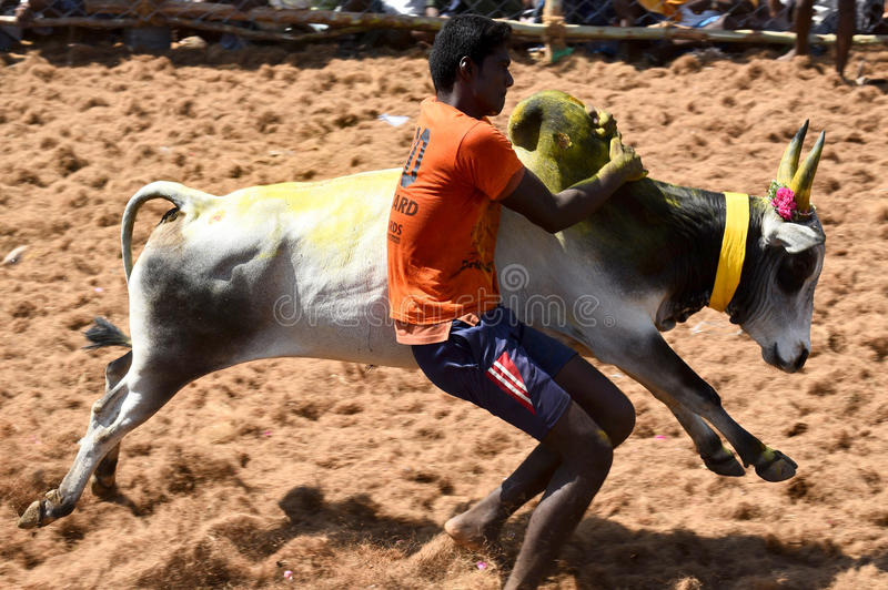 BULL TAMING CONTEST royalty free stock image