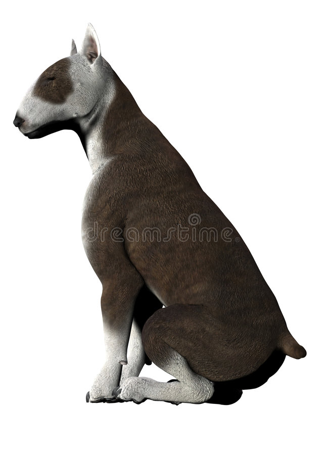 Bull Terrier - 01 Stock Image