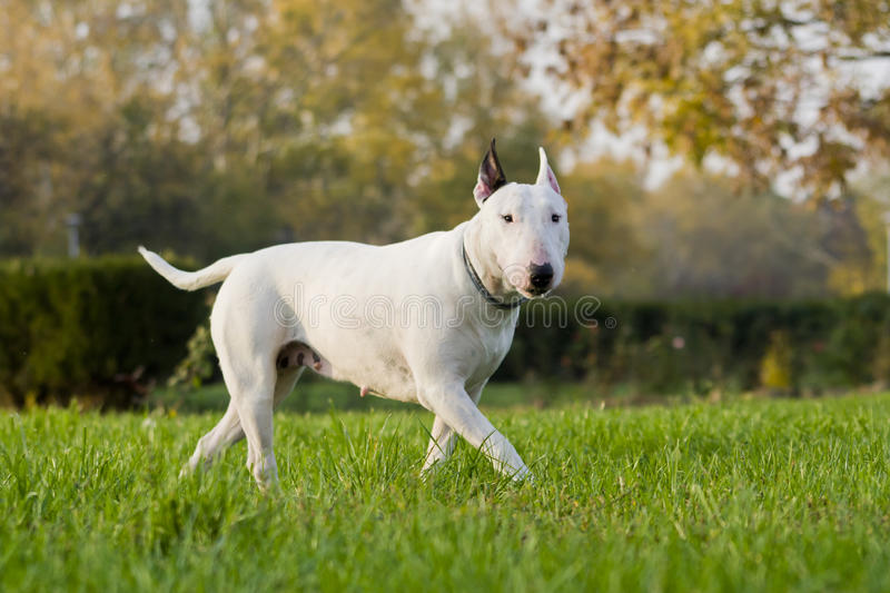 Bull terrier royalty free stock photography
