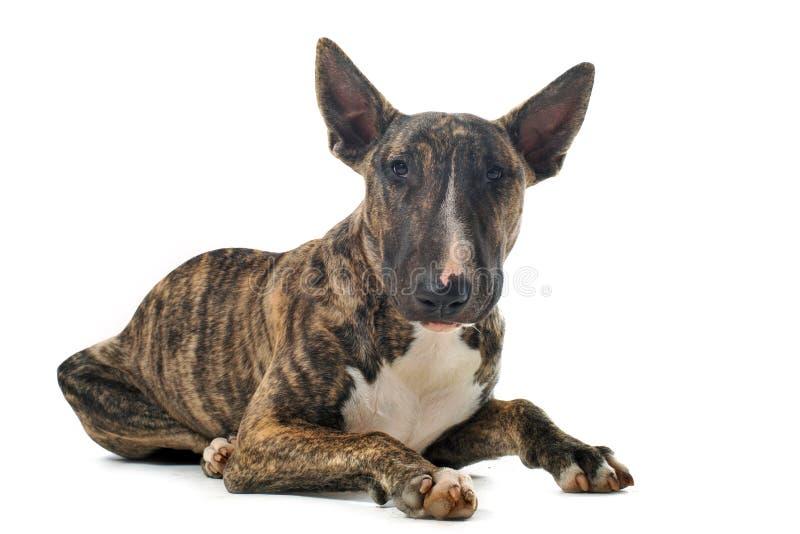 Bull-Terrier lizenzfreie stockfotografie