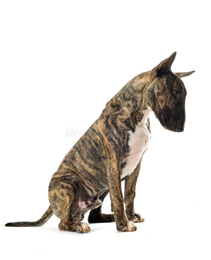 Bull terrier royalty free stock photos