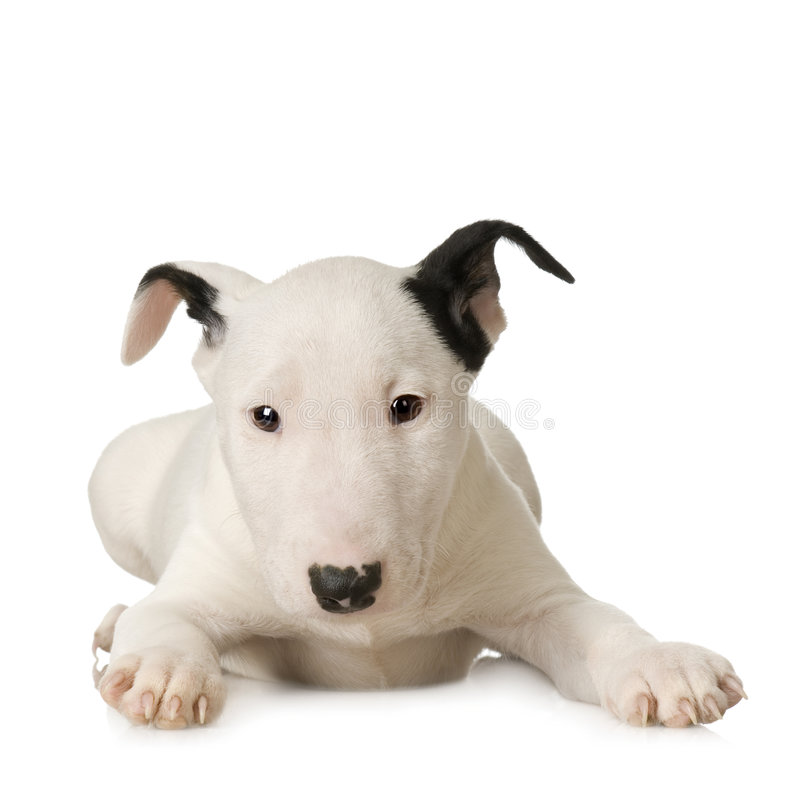 Bull Terrier stock images