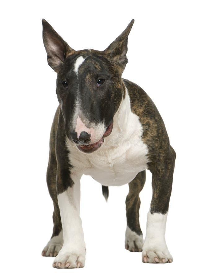 Bull-terrier, 6 mois, restant images libres de droits