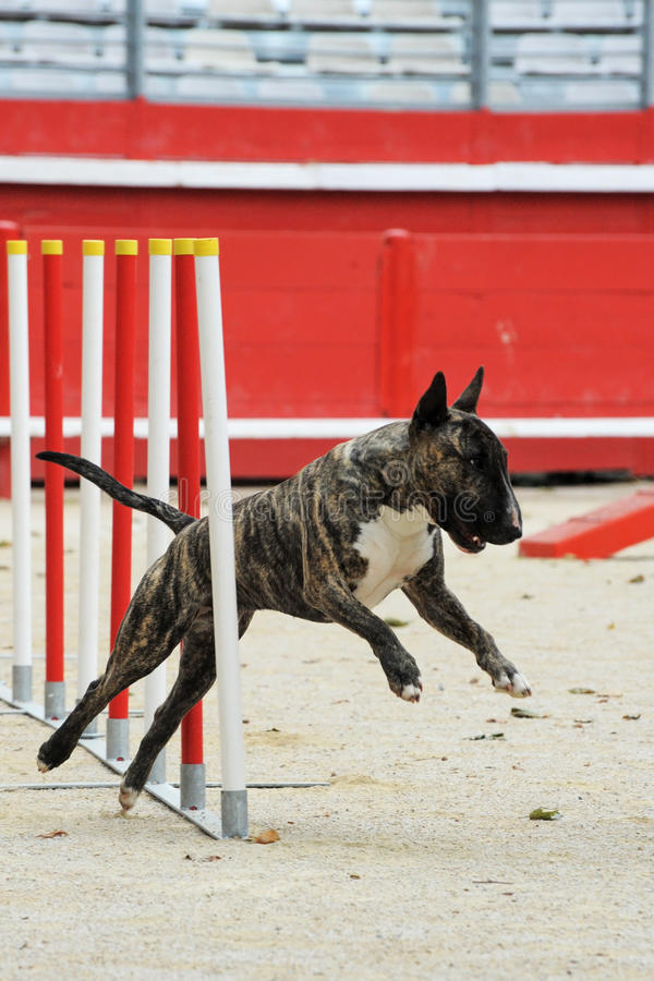 Bull terrier in agility royalty free stock photo