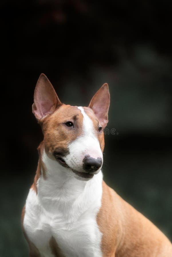 Bull-terrier anglais Chien de pur sang photographie stock libre de droits