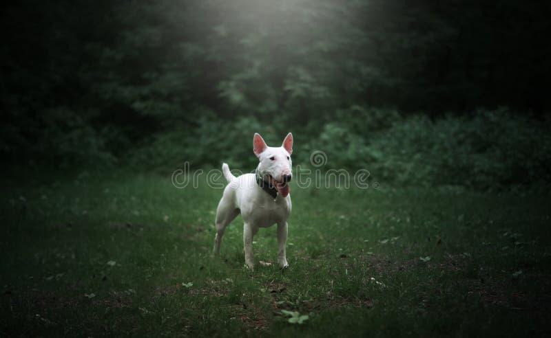 Bull terrier bianco immagini stock libere da diritti