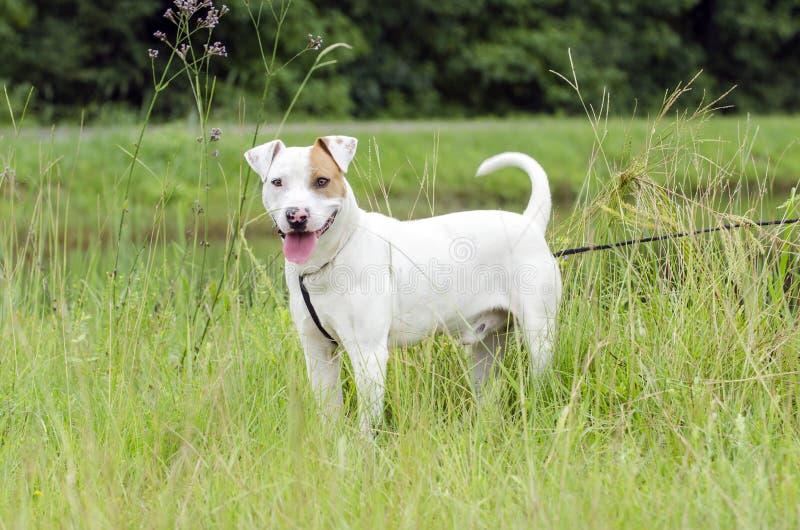 Bull Terrier bulldog mixed breed dog royalty free stock photos