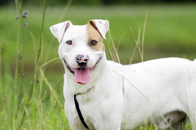 Bull Terrier bulldog mixed breed dog stock images