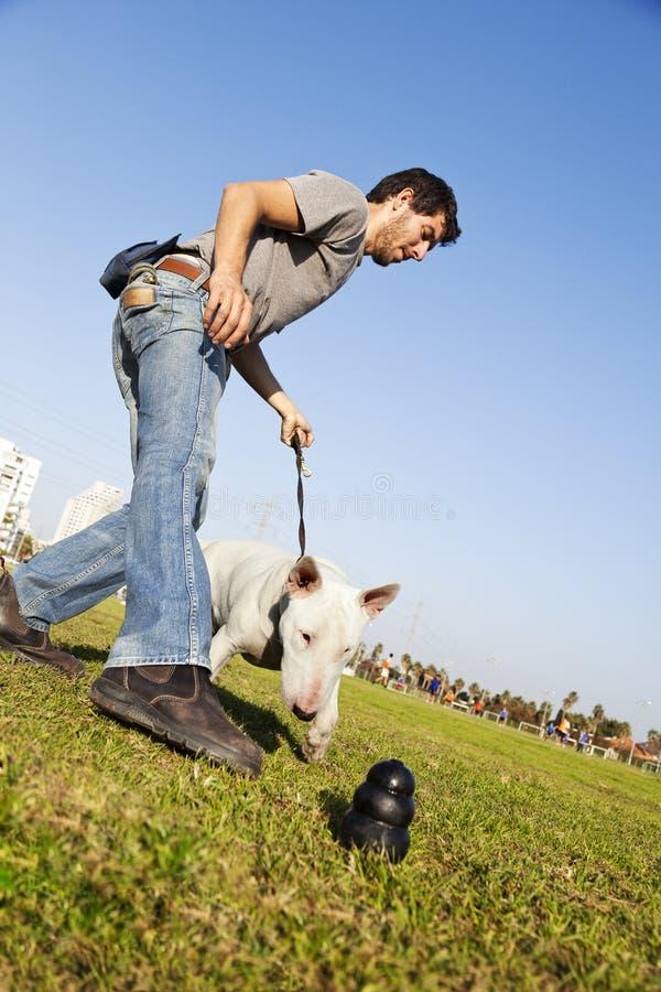 Bull terrier che raggiunge per il giocattolo di masticazione al parco immagini stock