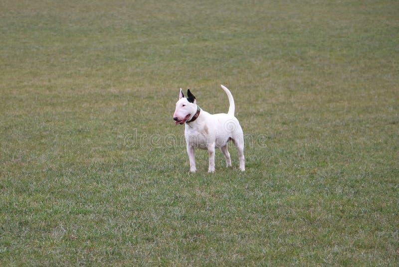 Bull-terrier debout dans le jardin images libres de droits