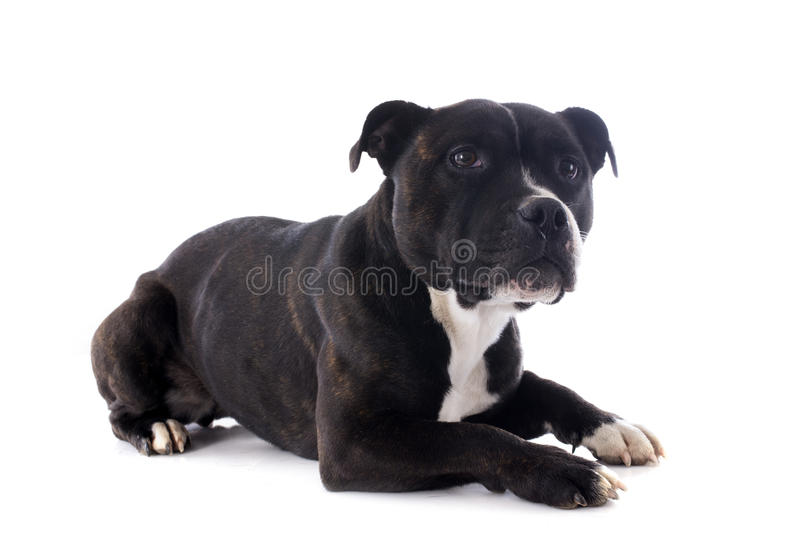 Bull terrier di Staffordshire immagine stock