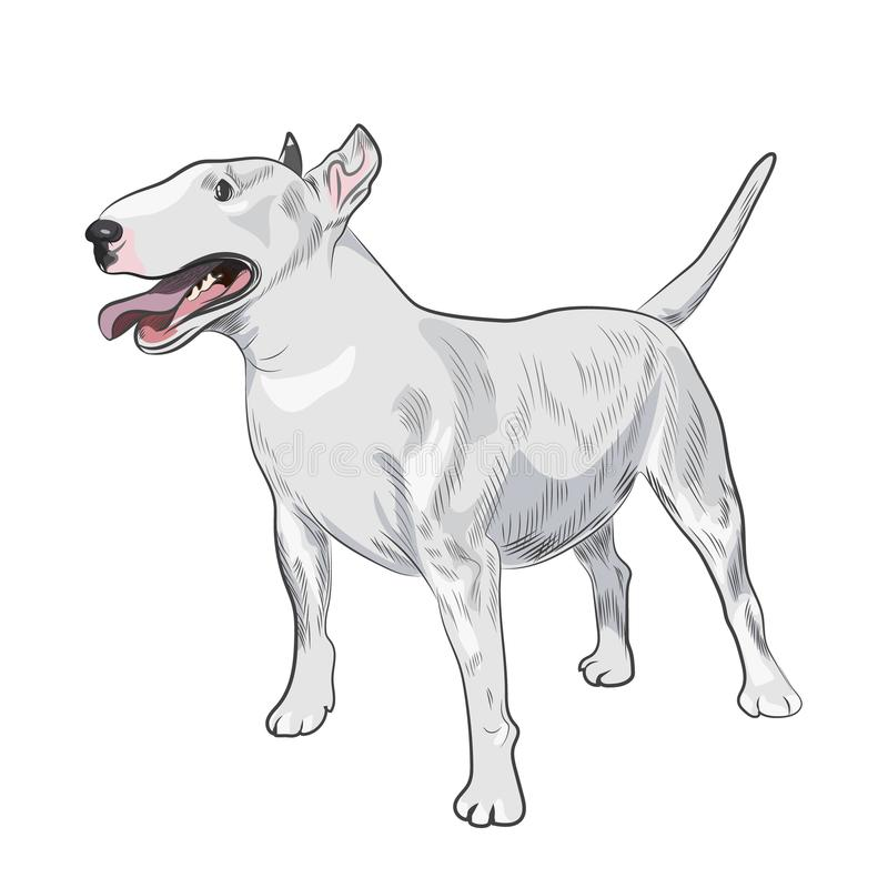 Bull Terrier dog breed isolated on white background. royalty free illustration