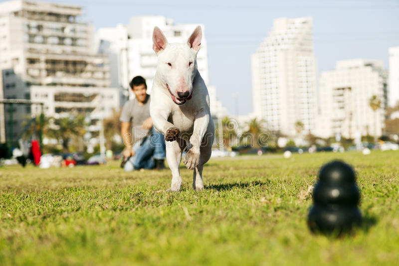 Download Bull Terrier Running For Chew Toy In Park Stock Image - Image of action, bull: 29872797