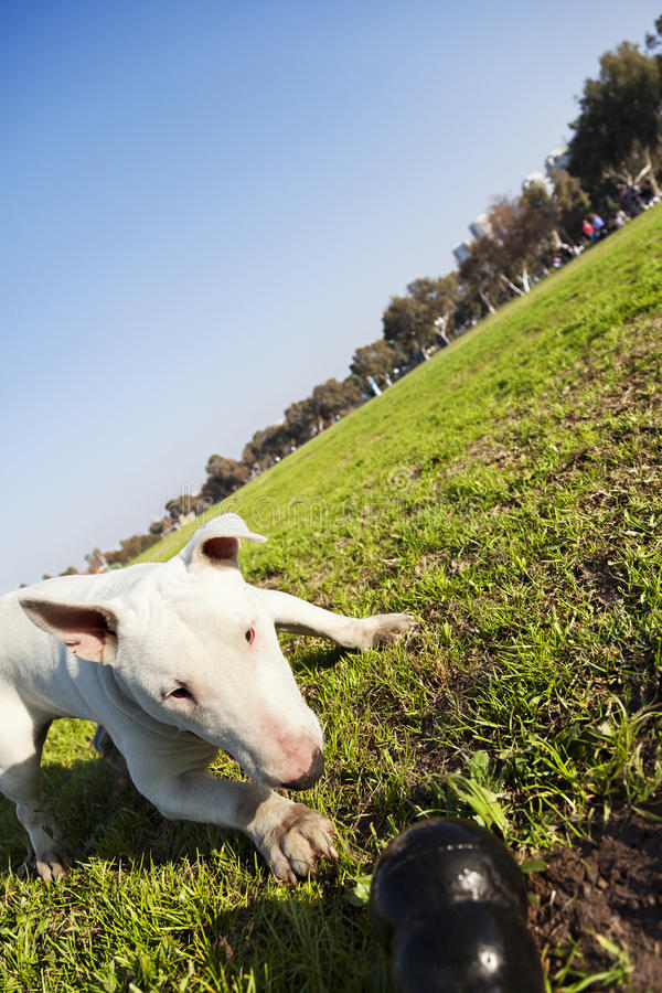 Download Bull Terrier With Chew Toy In Park Stock Photo - Image: 30140086