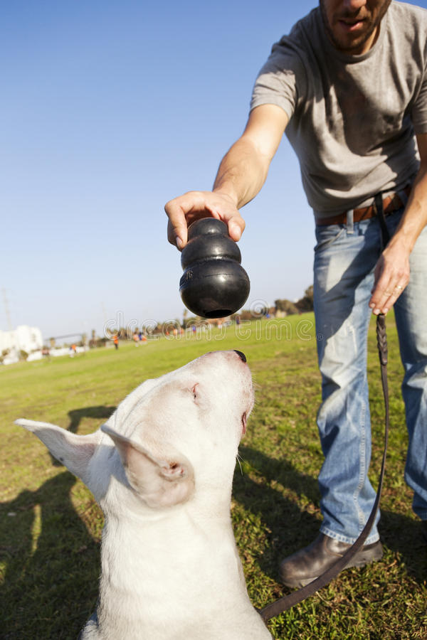 Download Bull Terrier About To Chew On Toy Royalty Free Stock Photography - Image: 30139357