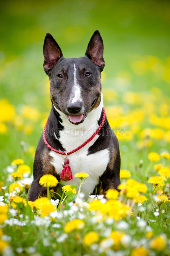 Download Bull Terrier Dog Posing In A Flower Field Stock Image - Image: 25655039