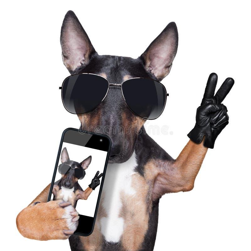 Bull Terrier DOG selfie stock photo