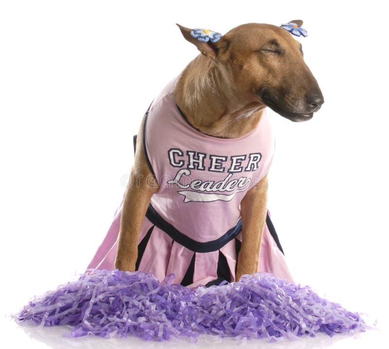 Bull terrier dressed as a cheerleader royalty free stock image