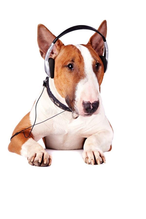 Bull terrier in earphones stock photo