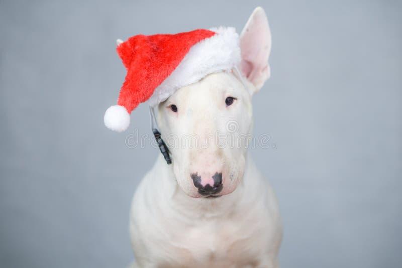 Bull terrier hund med den santa hatten på jul royaltyfri bild