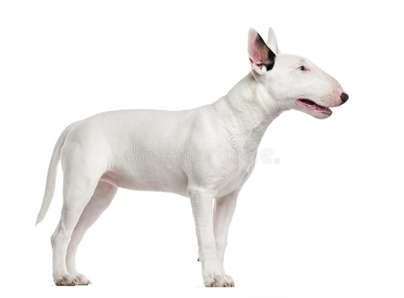 Bull Terrier isolated on white royalty free stock photo