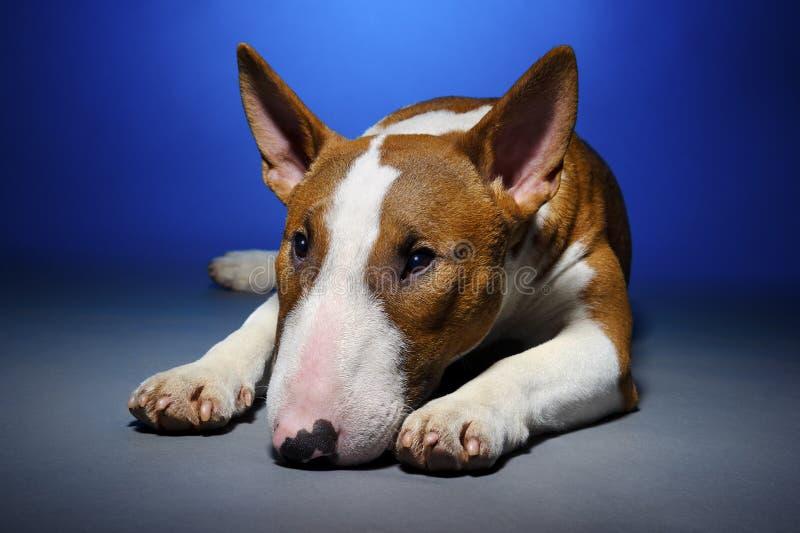 Bull terrier ledsen hund fotografering för bildbyråer
