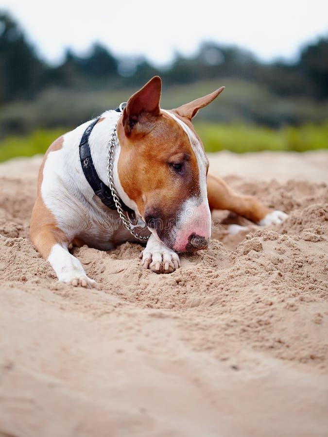 Bull terrier lies on sand. stock image