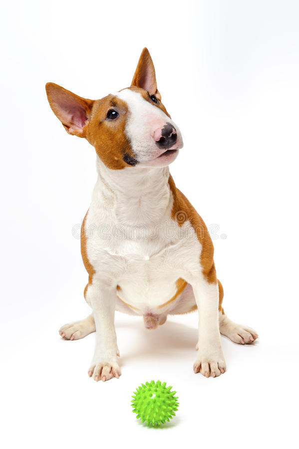 Bull terrier med den gröna bollen royaltyfri foto