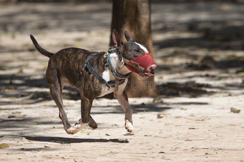 A Bull Terrier med muzzle i en park royaltyfria foton