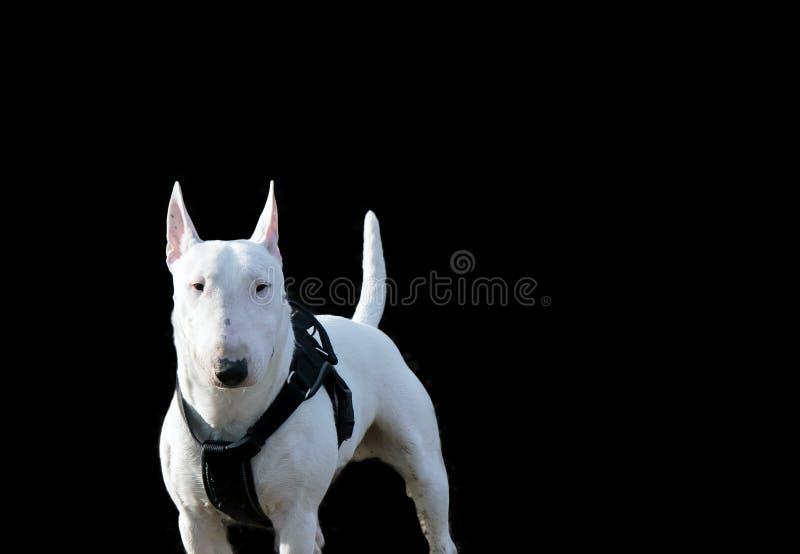 Bull terrier minuatures obrazy stock