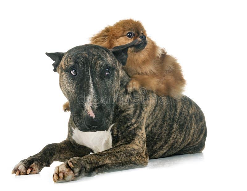 Bull terrier och spitz arkivfoton