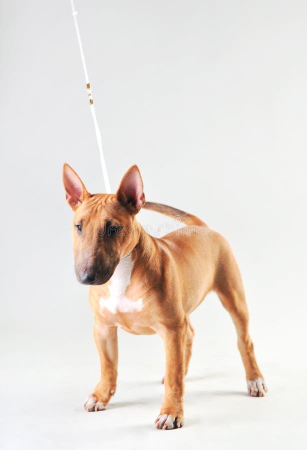 Bull terrier op een witte achtergrond stock fotografie