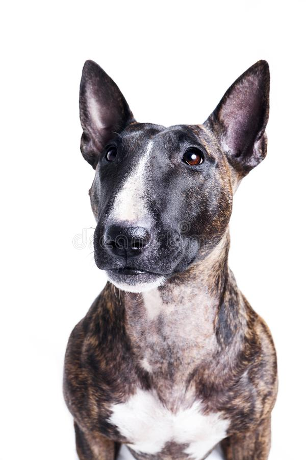Bull terrier portrait on white. Female tiger bull terrier portrait isolated on white royalty free stock images