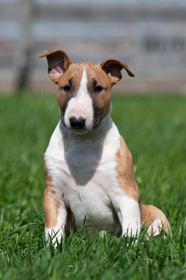 Bull terrier puppy stock photo