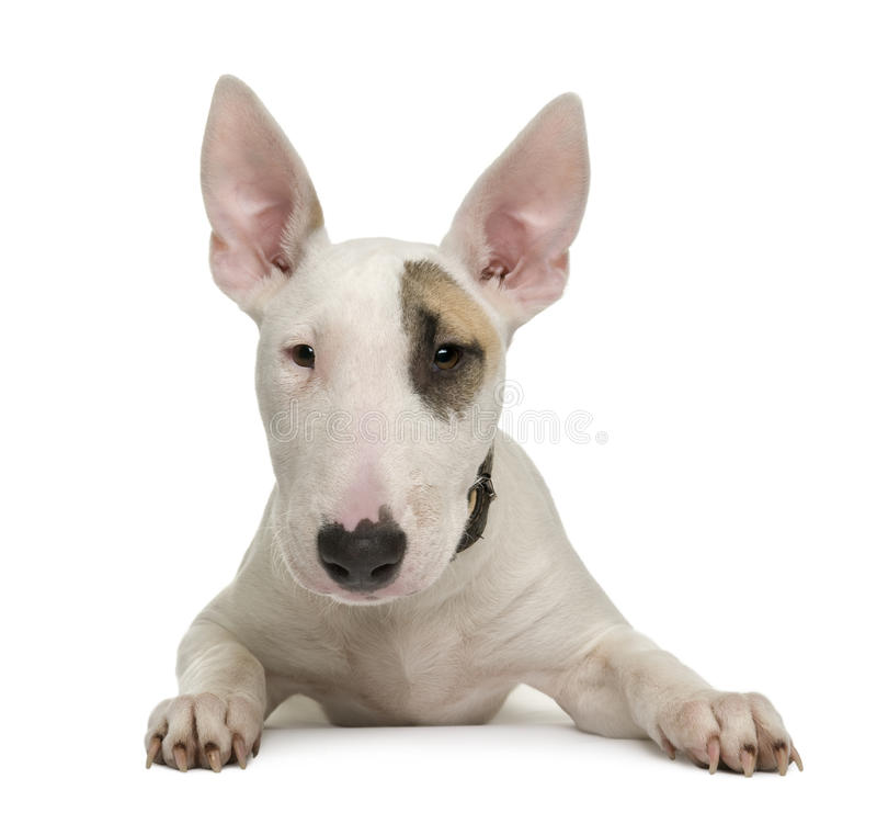 Bull Terrier puppy against white background stock photography